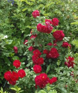 rosa-Gefylt